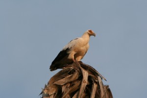 Palm-nut vulture, over rated